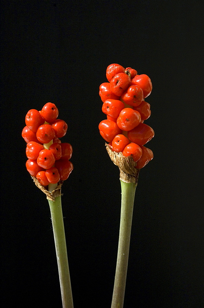 Italian lords-and-ladies infructescence