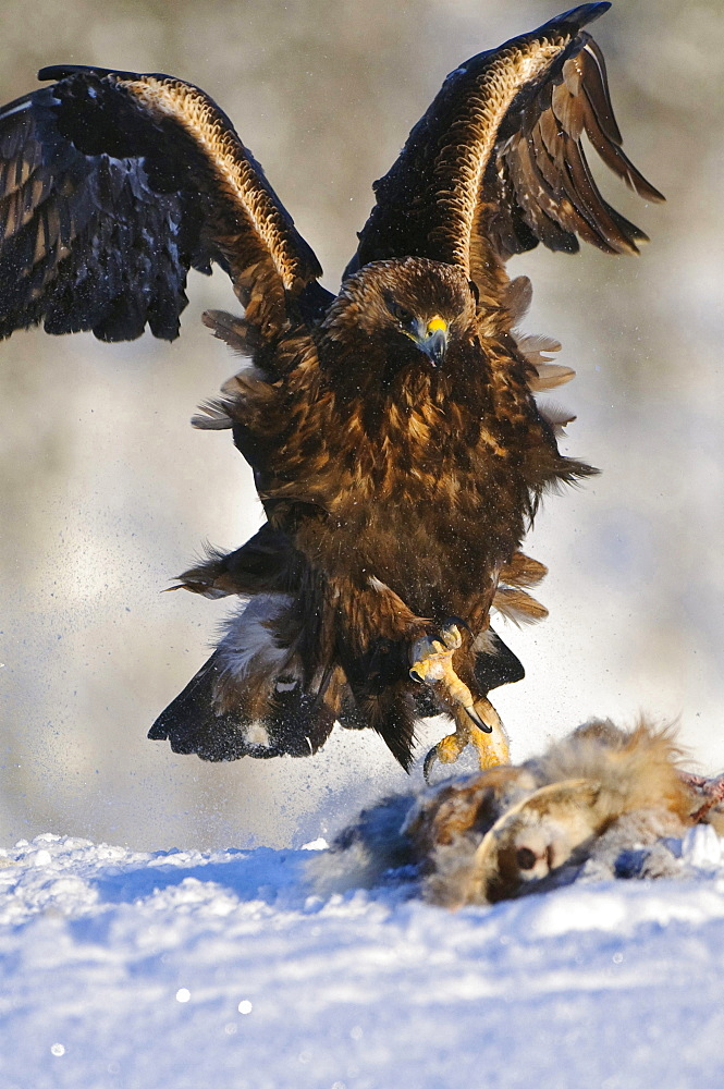 golden eagle golden eagle hunting prey in snow winter Norway