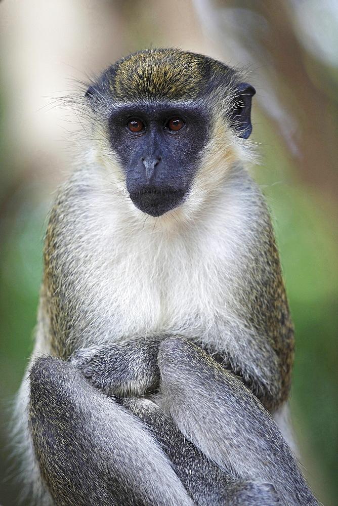 black-faced vervet or grass monkey or grivet black-faced vervet sitting portrait Gambia West Africa Africa