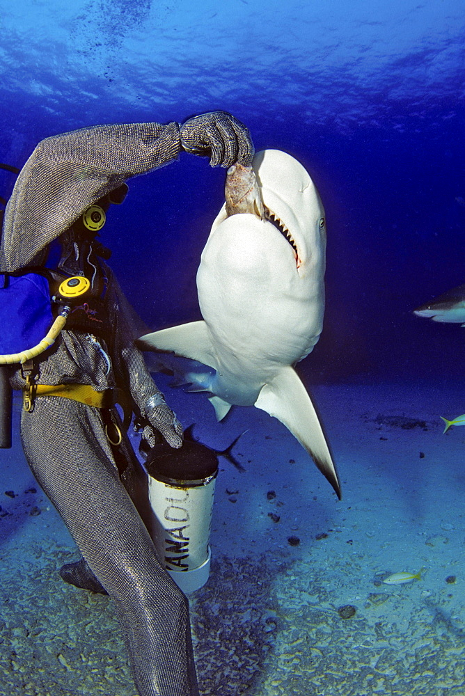 Caribbean grey reef shark diver in a full chain mail suit hand-feeding a reef shark off Freeport Bahamas underwater