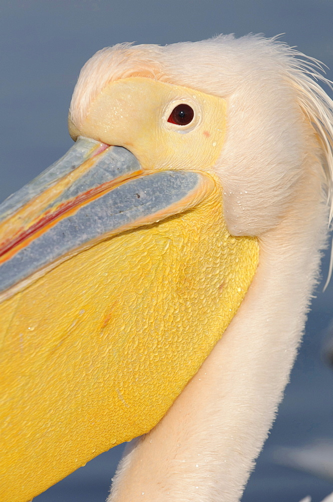 Eastern white pelican head eye and beak of Eastern white pelican portrait close up view