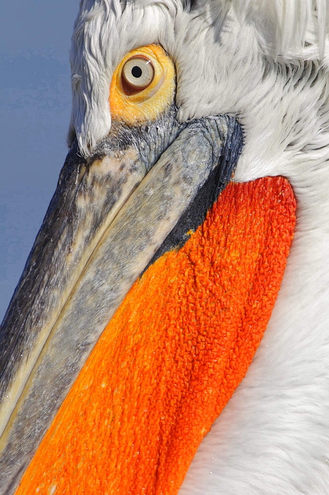 Dalmatian pelican head eye and beak of Dalmatian pelican portrait close up view