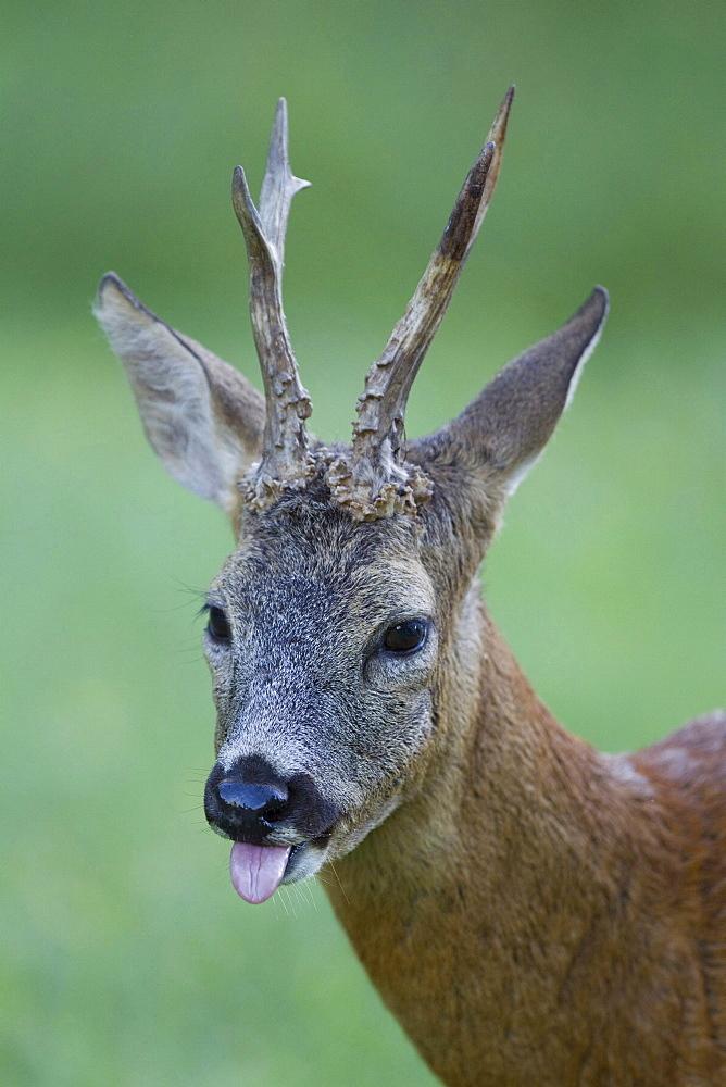 roe deer male roe deer standing showing tongue head portrait funny image