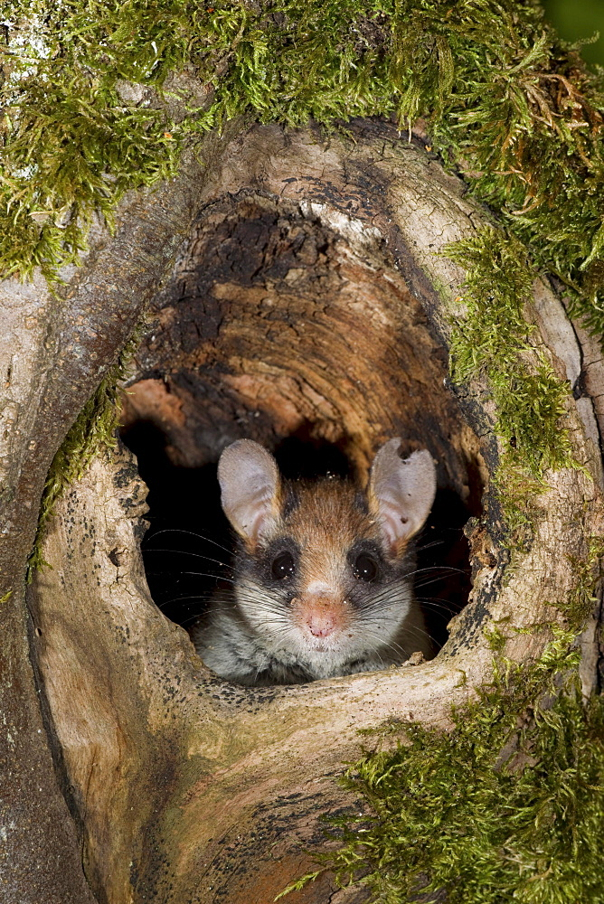 garden dormouse garden dormouse with injured ear looking out of tree cave portrait