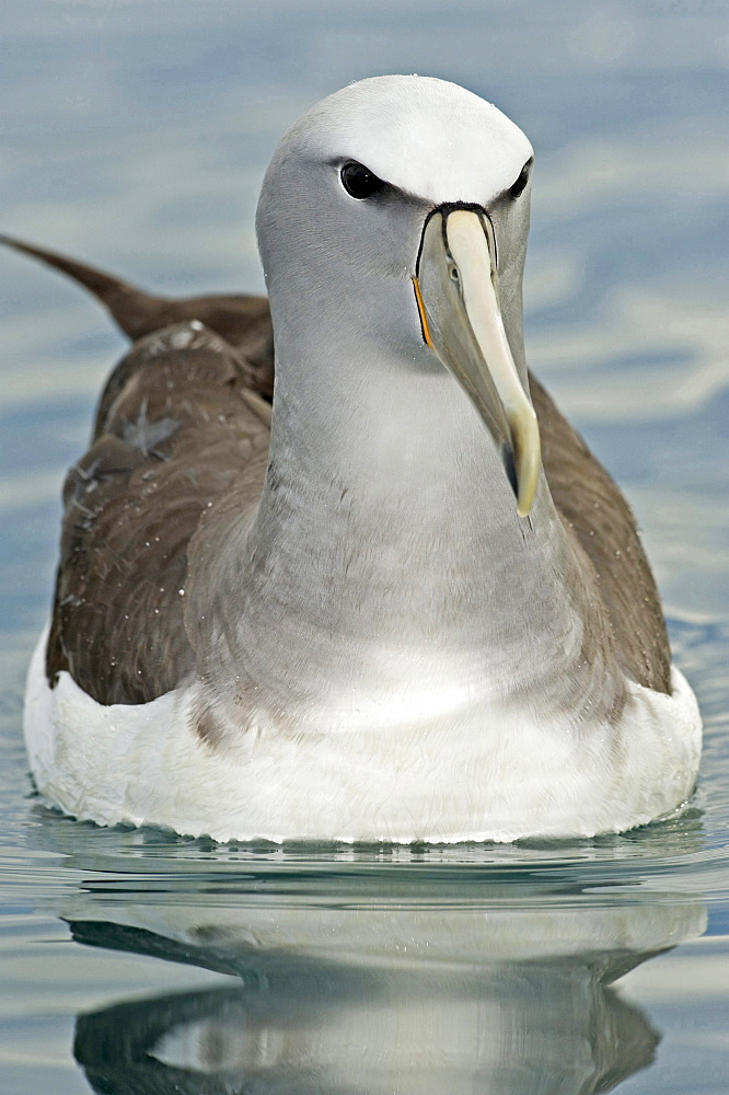 Salvin's Albatross or Salvin's Mollymawk Albatross swimming close-up Kaikourra New Zealand Animals
