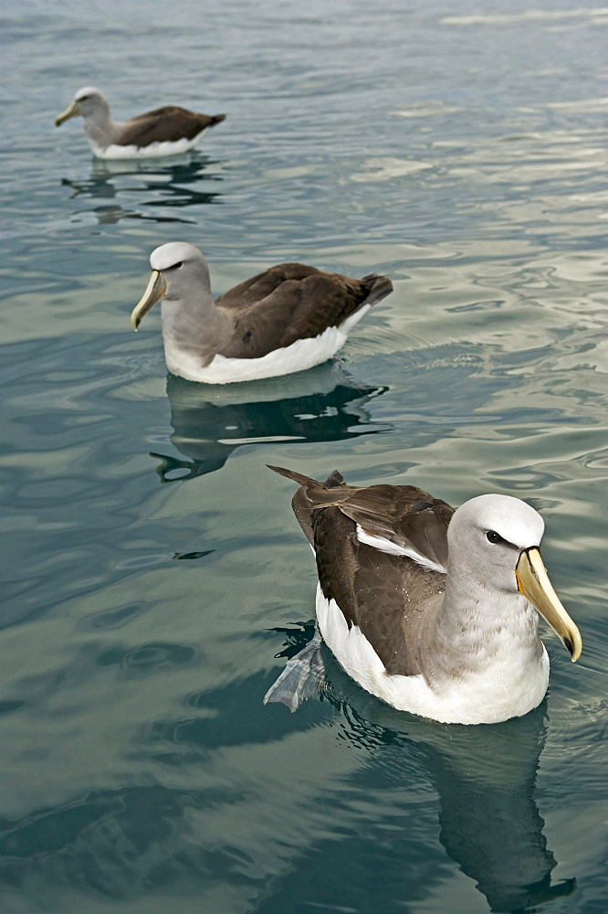 Salvin's Albatross or Salvin's Mollymawk Albatrosses or Mollyhawks swimming Kaikourra New Zealand Animals
