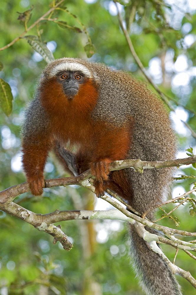 Coppery titi sitting in tree Peru South America