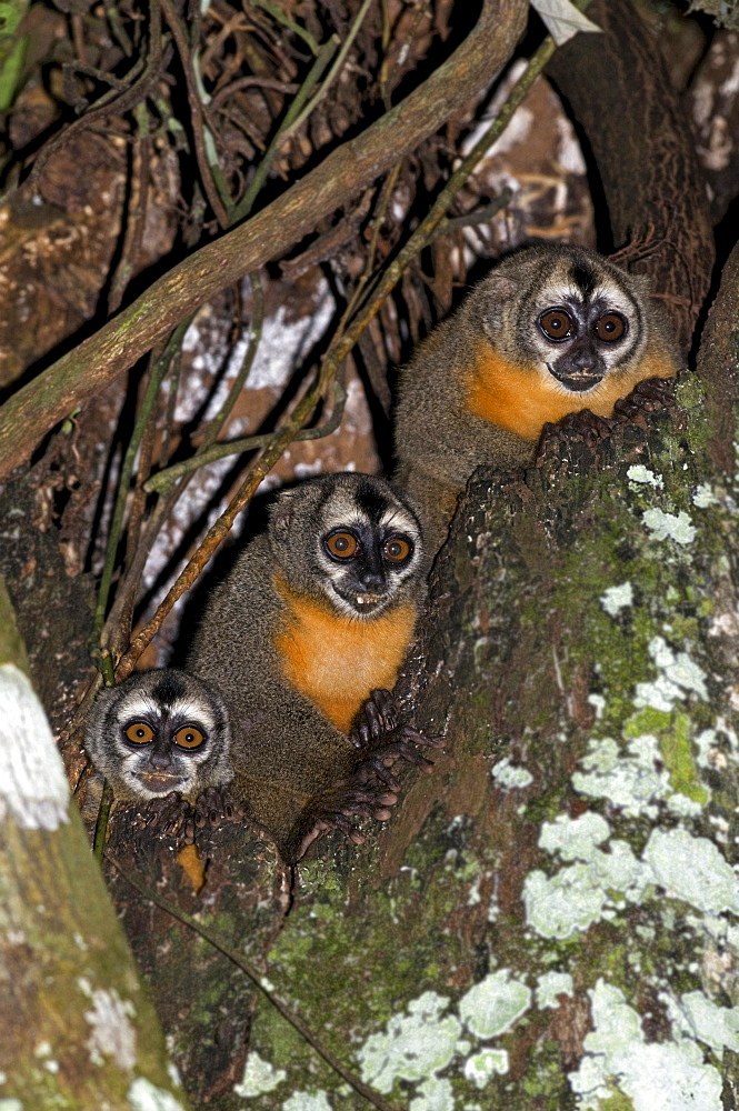 night monkey or owl monkey Owl Monkeys sitting in tree night shot South America Animals