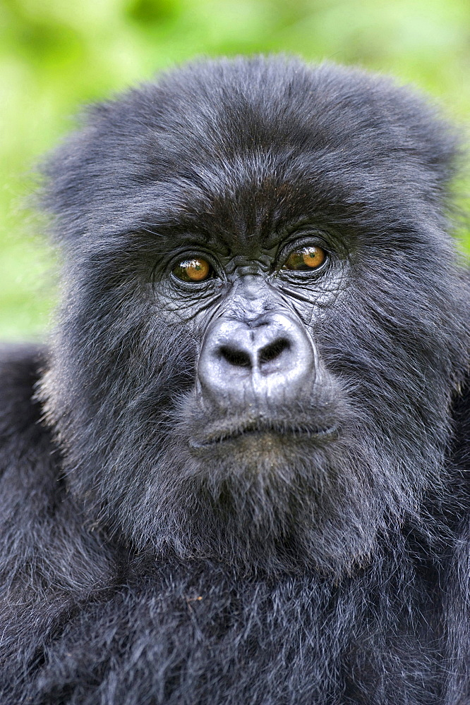 mountain gorilla adult Gorilla portrait Virunga Mountains Rwanda Africa