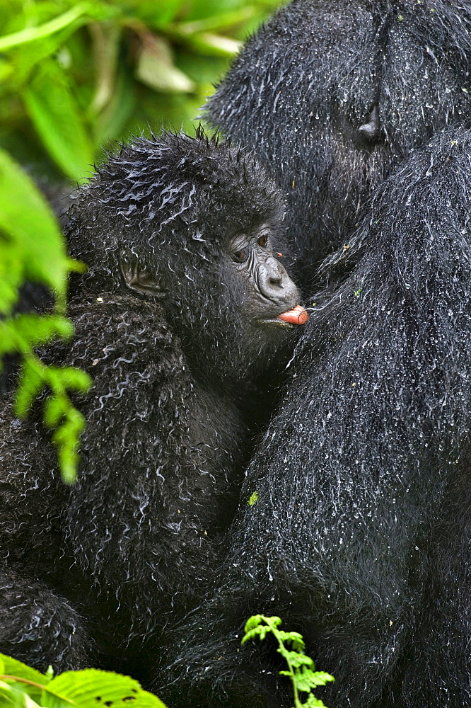 mountain gorilla Female Gorilla with young close-up Virunga Mountains Rwanda Africa