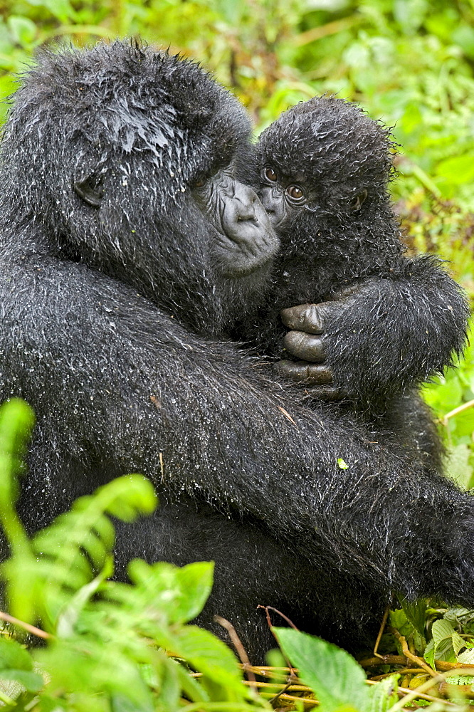 mountain gorilla Female Gorilla with baby Virunga Mountains Rwanda Africa