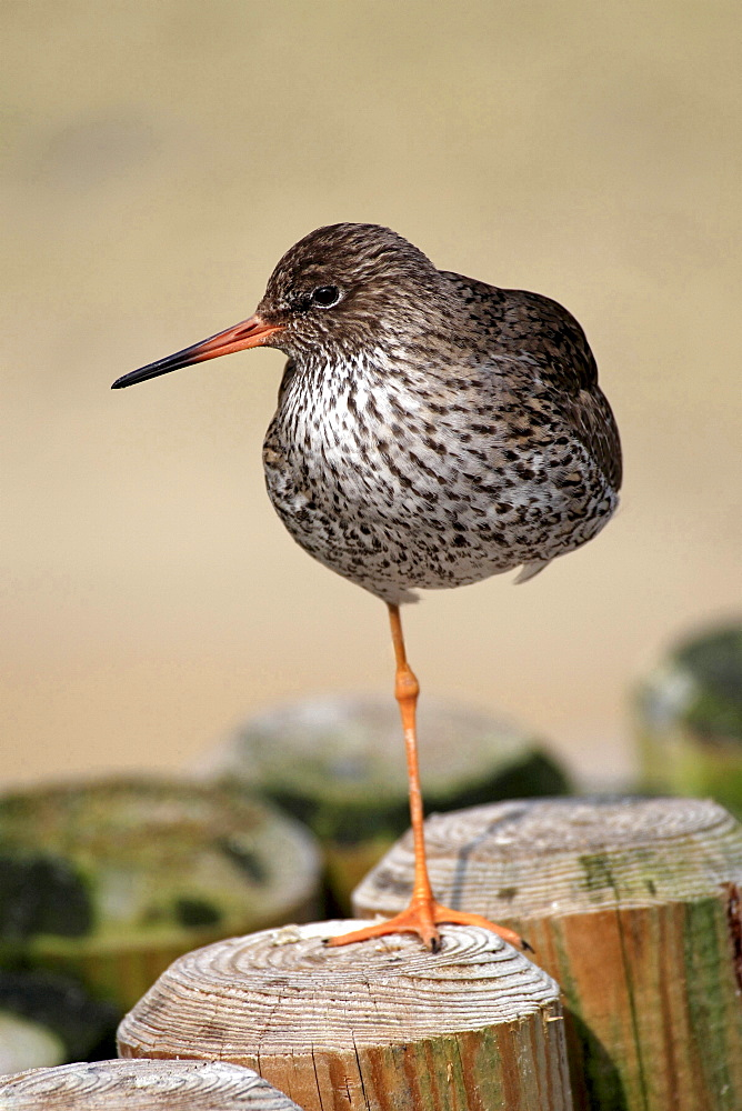 redshank redshank on wooden stake portrait Germany