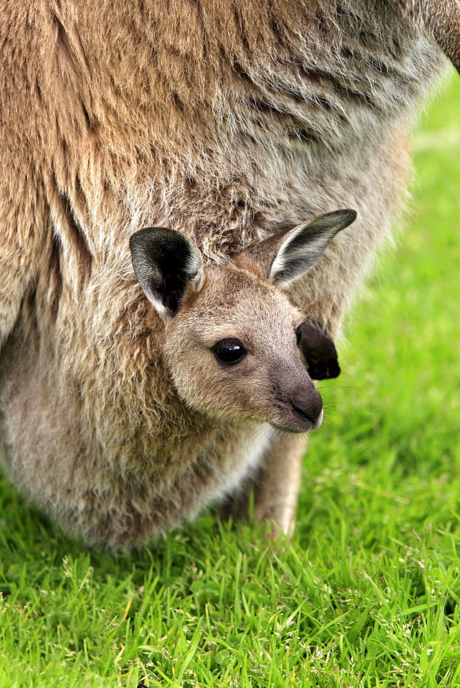 Western grey kangaroo Western grey kangaroo mother with young sitting in grass portrait close up view Cleland Wildlife Park South Australia Australien