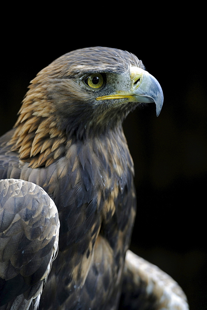 golden eagle golden eagle portrait