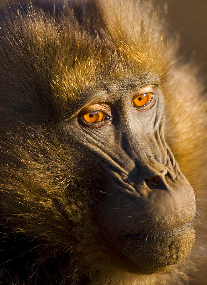 gelada baboon portrait baboon Simien Mountains National Park Ethiopia Africa Animals
