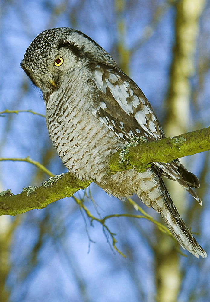 Northern hawk owl hawk owl in tree Sweden March