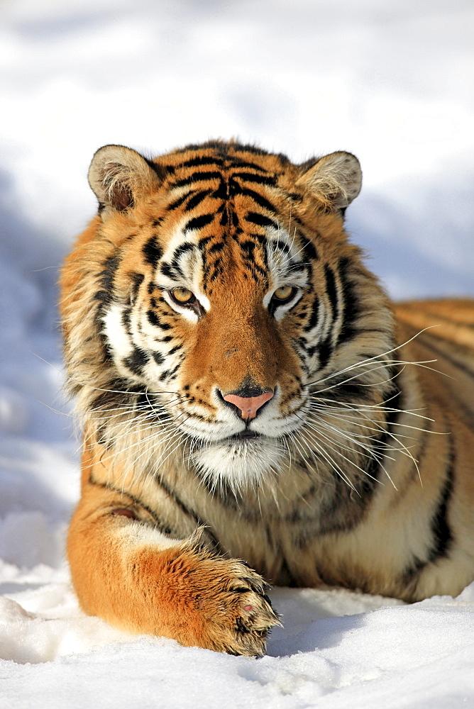 Siberian tiger Siberian tiger lying in the snow portrait winter Asia