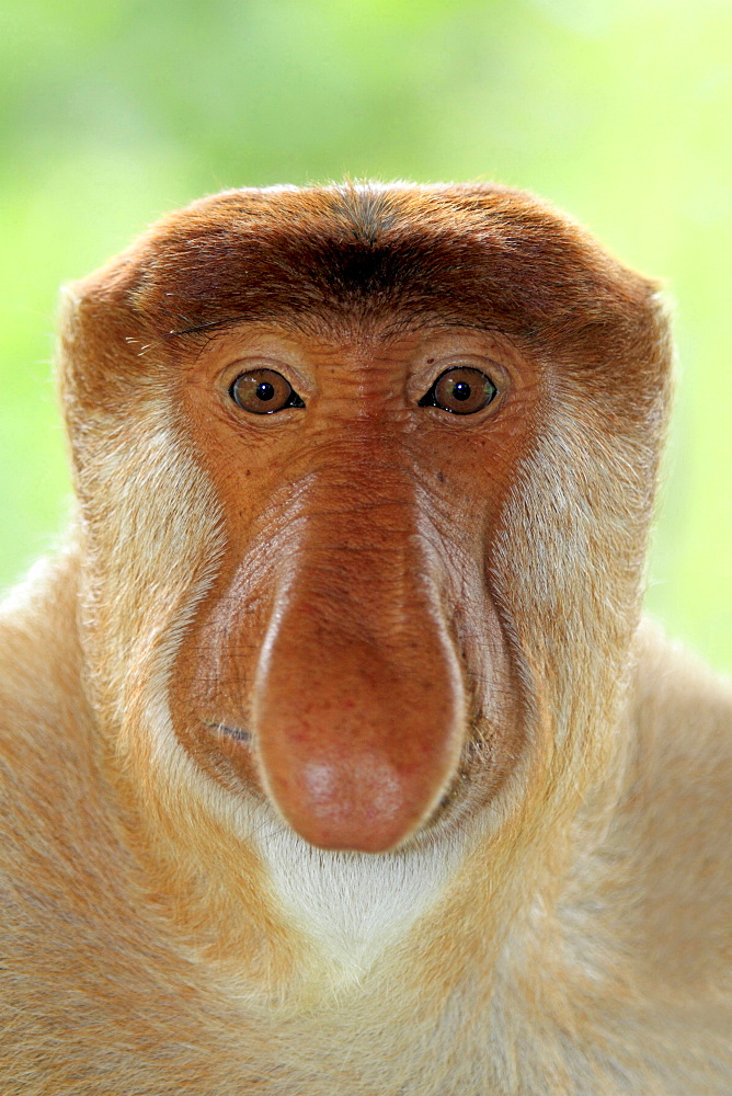 proboscis monkey male proboscis monkey sitting portrait front view - 869-4268