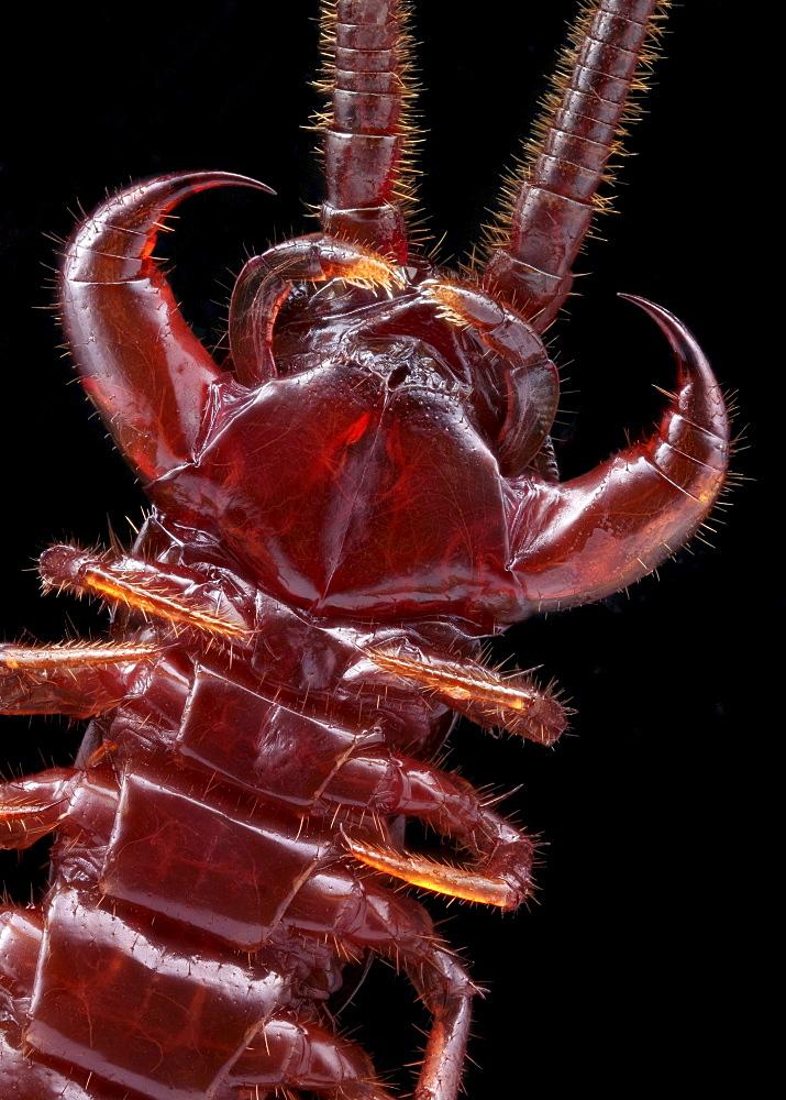 brown centipede ventral shot Germany Europe