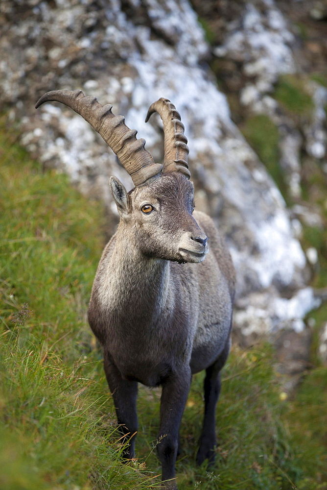 Alpine ibex male Switzerland Europe