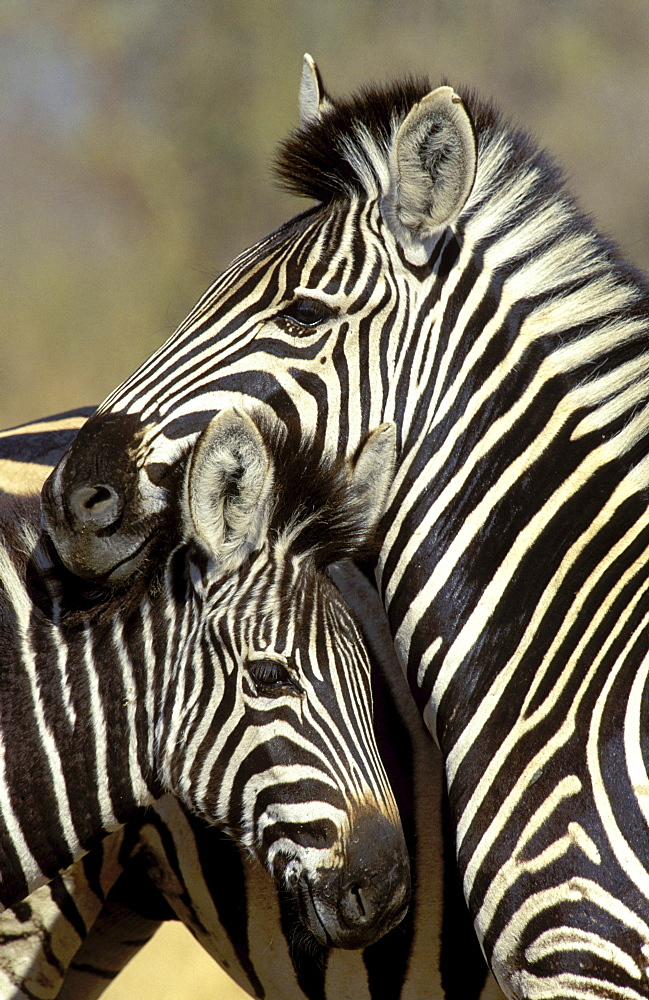 Burchell's zebra close-up of zebra mother and foal