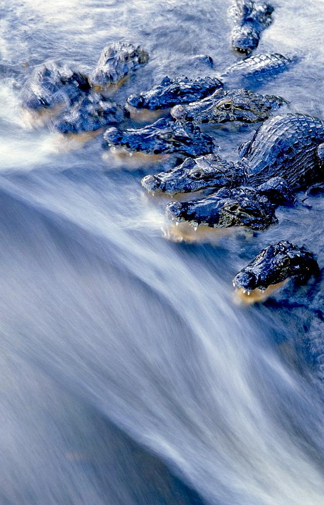yacare caiman group lurking in water