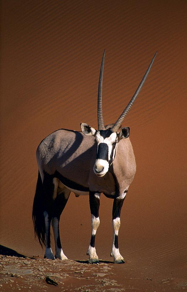 oryx or gemsbok standing