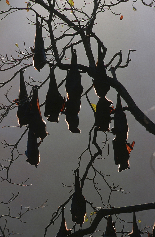 black flying fox group of flying foxes hanging in tree