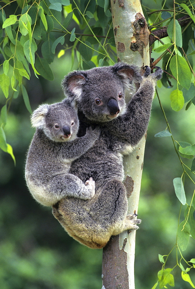 koala female with young Victoria Australia (Phascolarctos cinereus)