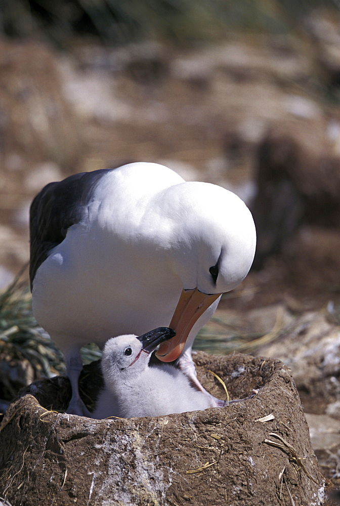 black-browed albatross black-browed mollymawk Blackbrowed Albatross Diomedea melanophris on nest with chick Jason Falkland Islands Falkland Islands South Atlantic (Thalassarche melanophrys syn. Diomedea melanophris)