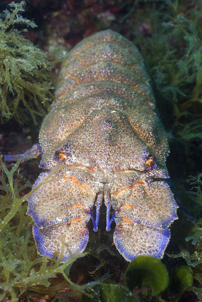 slipper lobster slipper lobster on reef portrait Spain (Scyllarides latus) - 869-5333