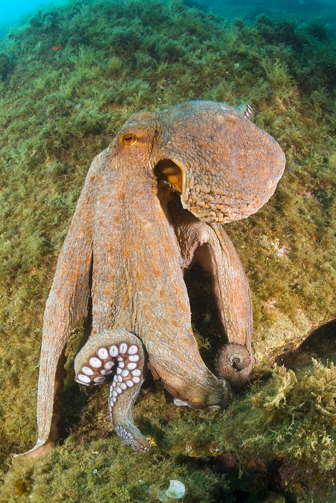 common octopus common octopus on the reef portrait Spain (Octopus vulgaris)
