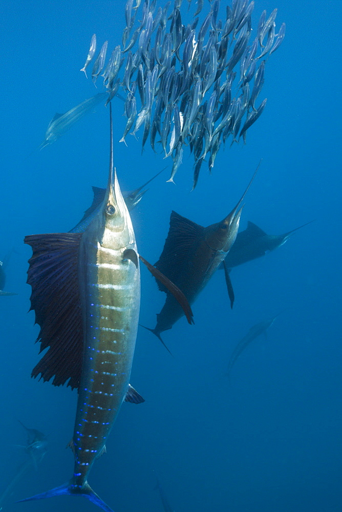 Atlantic sailfish Atlantic sailfish hunting prey sardines Mexico (Istiophorus albicans) - 869-5345