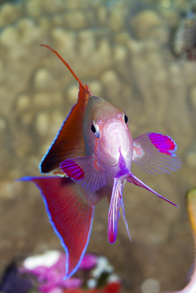 jewel fairy basslet or harem flag basslet jewel fairy basslet portrait front view (Pseudanthias squamipinnis)