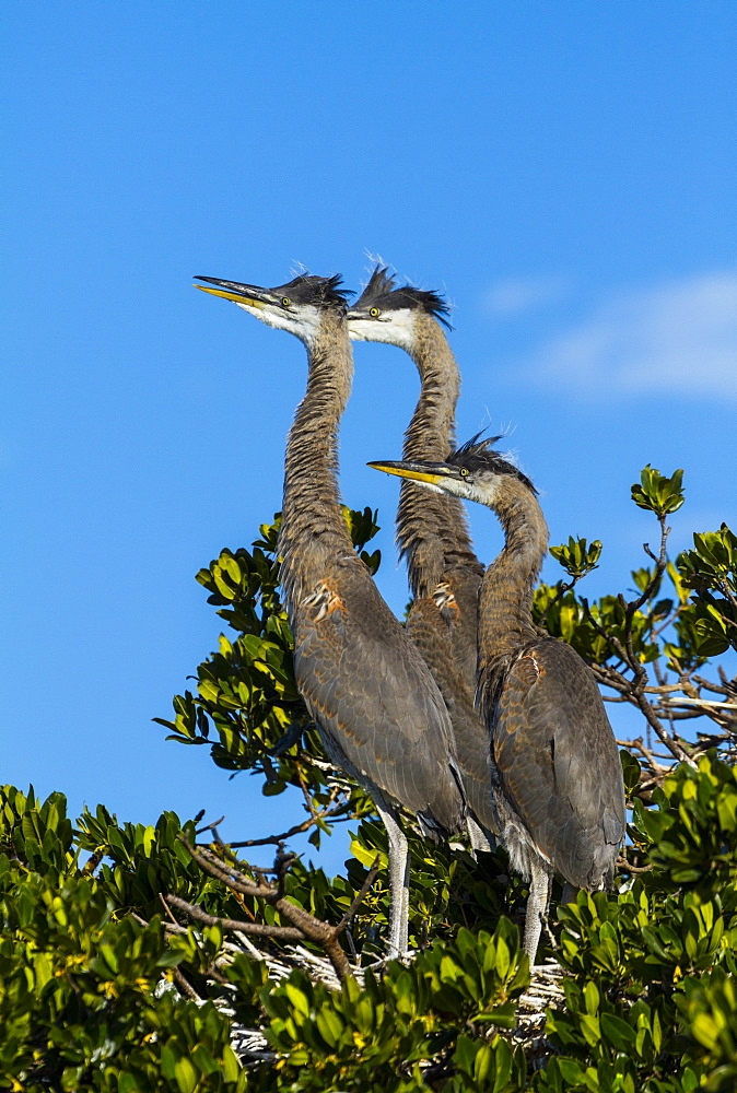 great blue heron three immature herons on nest in tree Everglades National Park Florida USA North America (Ardea herodias) - 869-5815