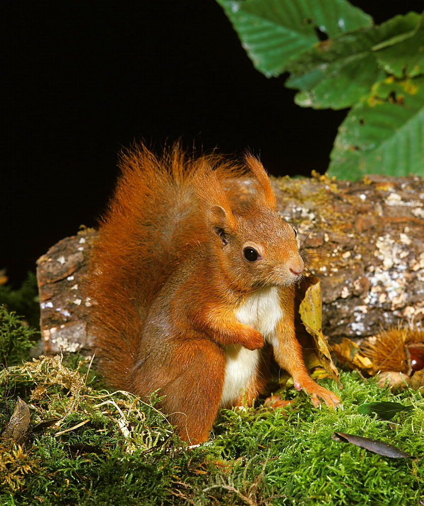 red squirrel red squirrel sciurus vulgaris female (Sciurus vulgaris) - 869-5835