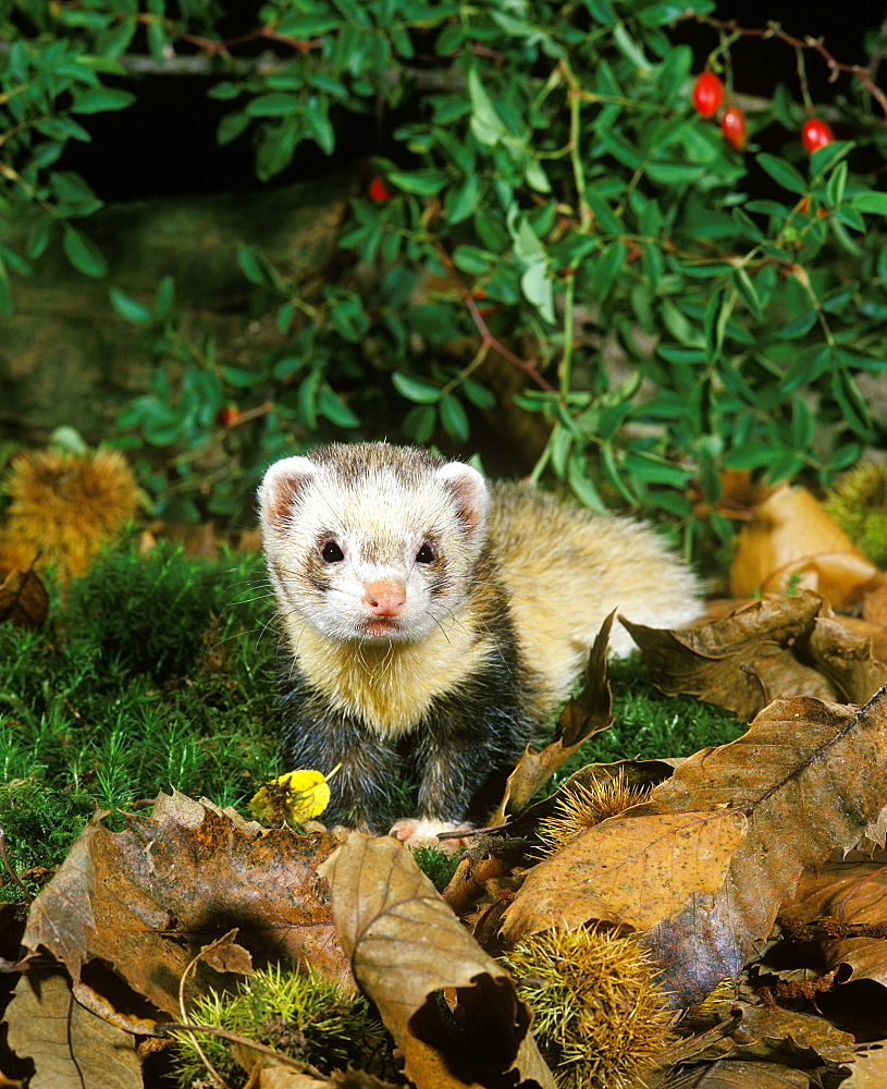 European polecat European polecat mustela putorius adult on moss foliage (Mustela putorius) - 869-5850
