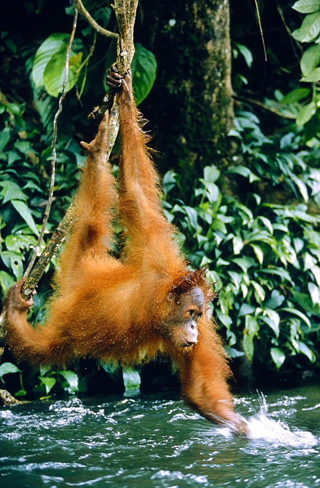 orang utan hanging over brook playing (Pongo pygmaeus)