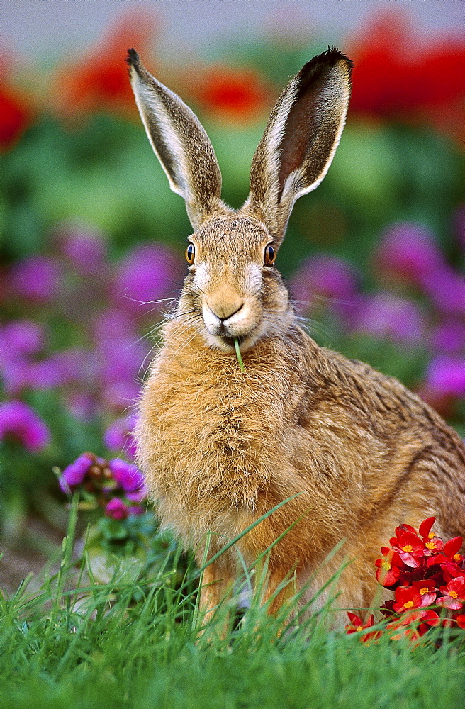 European hare European hare young sitting feeding grass in front of flowers in garden
