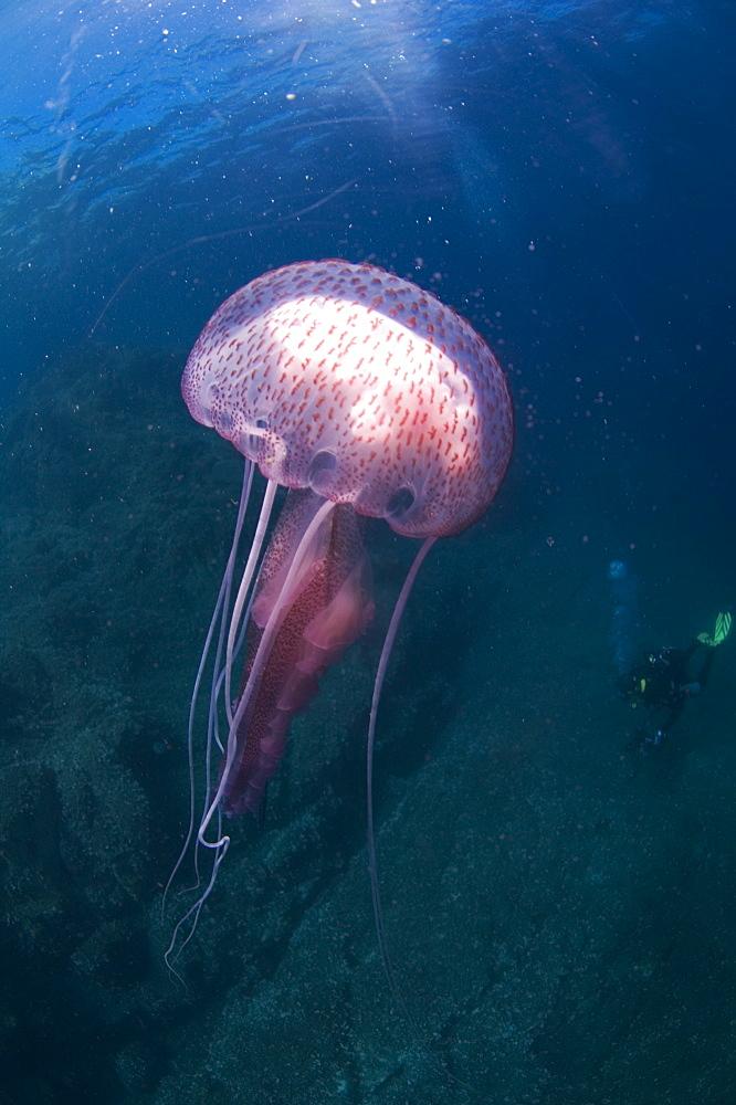 Purple Stinger Jellyfish (Pelagia notiluca). Sardinia, Italy, Mediterranean