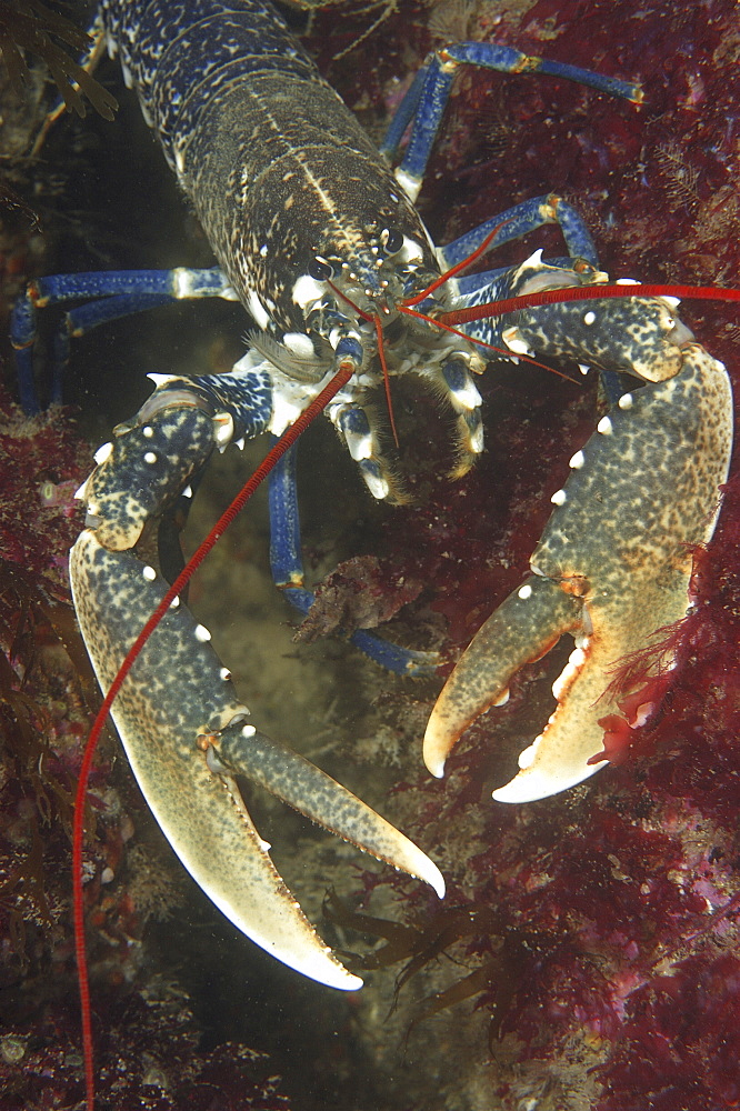 Common lobster (Homarus gammarus). 