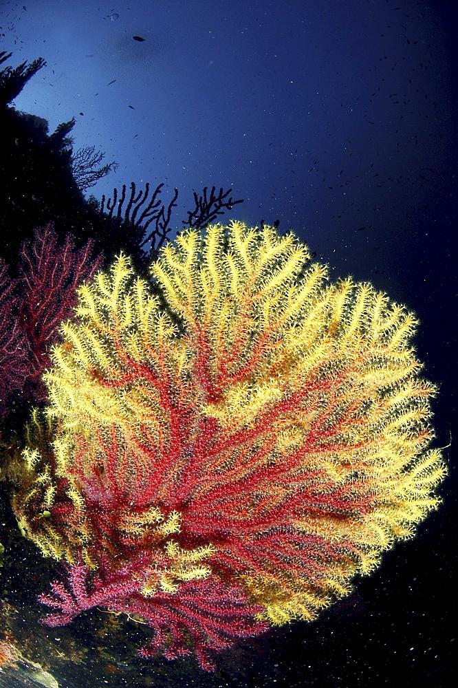 Gorgonian Sea Fan (Gorgonia sp.).Sardinia, Italy   (RR)