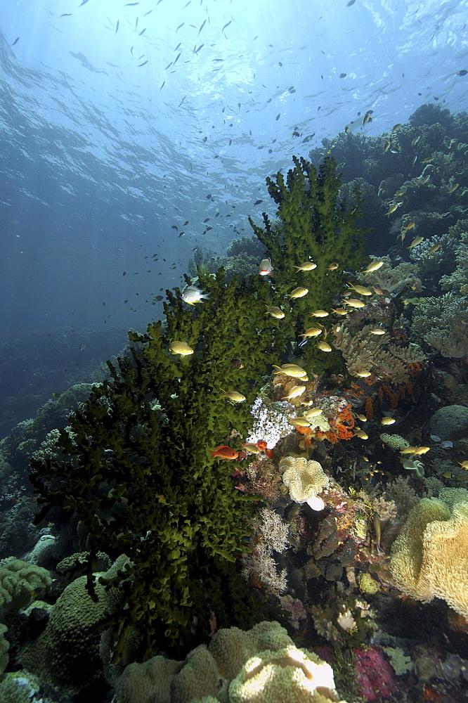 Coral Reef Scene, Wakatobi, Onemobaa Island, Indonesia   (RR)