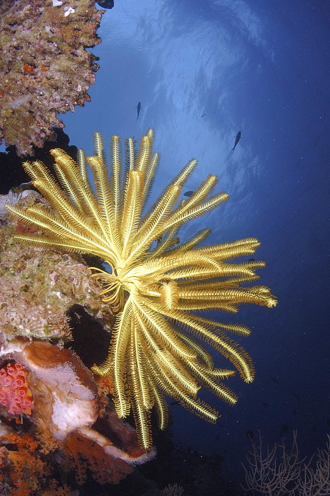 Crinoid (Species unknown).Wakatobi, Onemobaa Island, Indonesia   (RR)