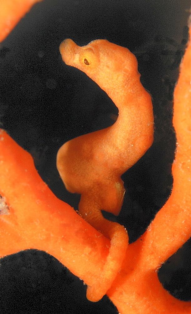Orange Pygmy Seahorse (Hypocampus bargibanti).Mabul, Sipadan, Borneo, Malaysia, Indo-Pacific.   (RR)