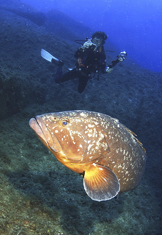Dusky Grouper (Epinephelus marginatus) with Diver. 