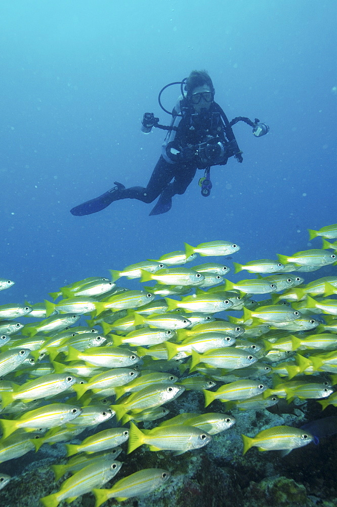 Bigeye Snapper (Lutjanus lutjanus) with Diver.Seychelles   (RR)