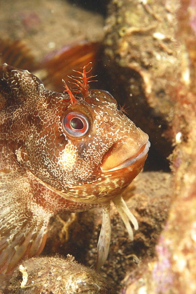 Tompot blenny (Blennius gattorugine) close up. Babbacombe, Torquay, South Devon, UK   (RR)
