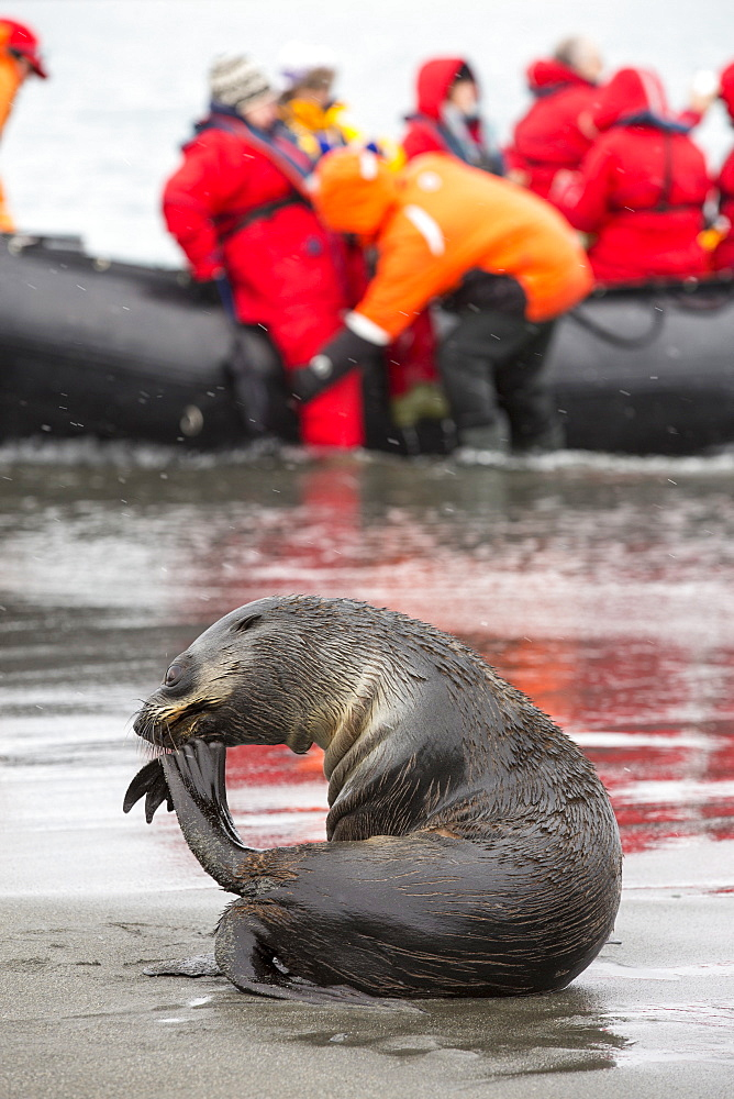 A female Antarctic Fur Seal (Arctocephalus gazella) at Salisbury Plain, South Georgia, Southern Ocean, with a zodiak full of passengers from an expedition cruise.