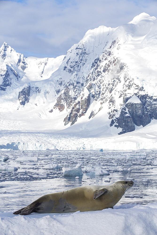 Crabeater Seal, Lobodon carcinophaga on an iceberg in Paradise Bay, Antarctica.